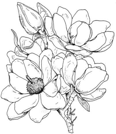 Magnolia Jpg 403 463 Flower Sketches Flower Drawing