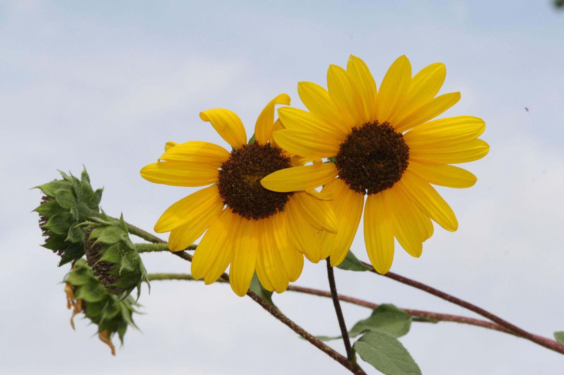 Sunflower at RGNC, ABQ NM