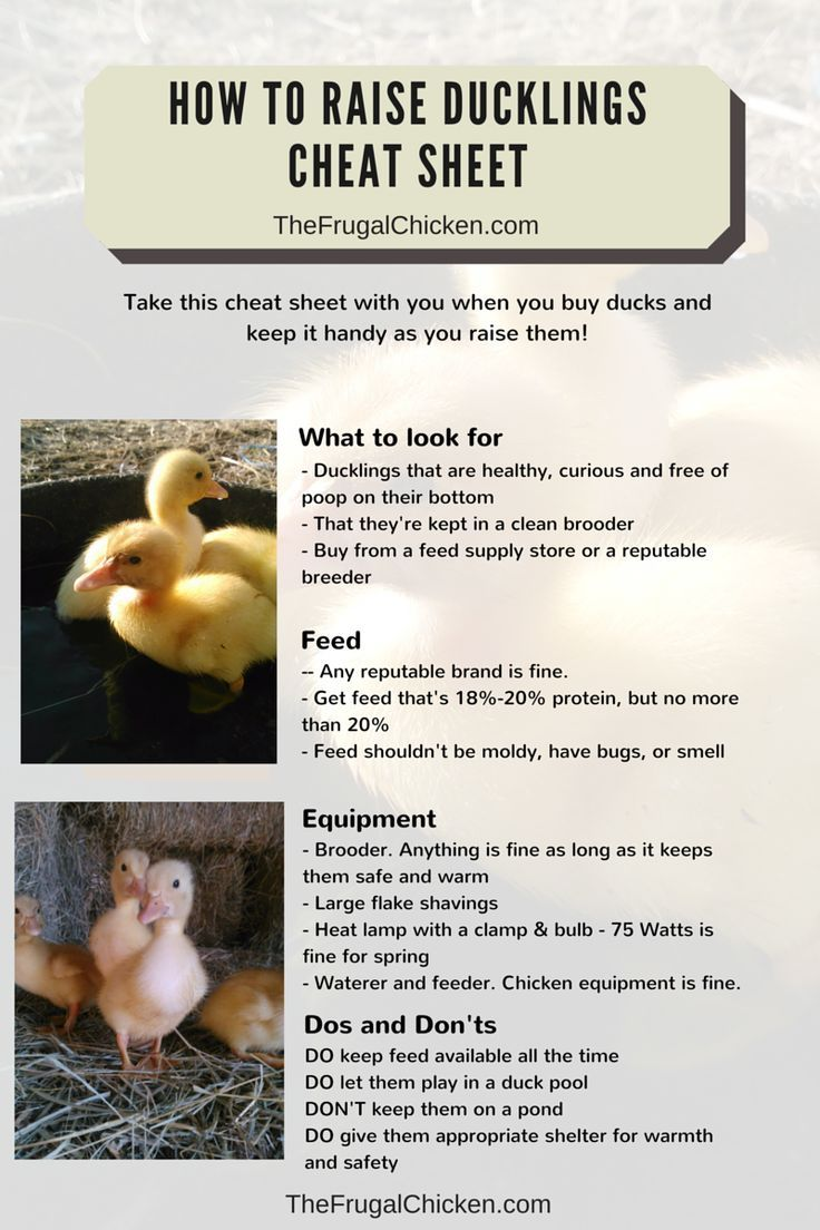 Not sure what to feed? Not sure what duck breed to get? Here's a beginner's guide to raising ducklings on the homestead. From FrugalChicken: