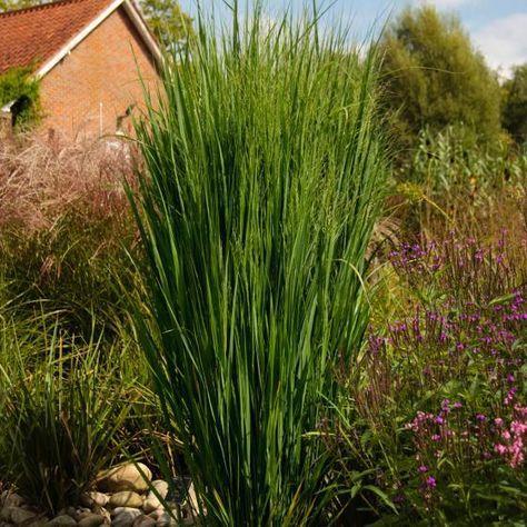 Winterfeste Gräser säulen rutenhirse northwind gärtner pötschke grass