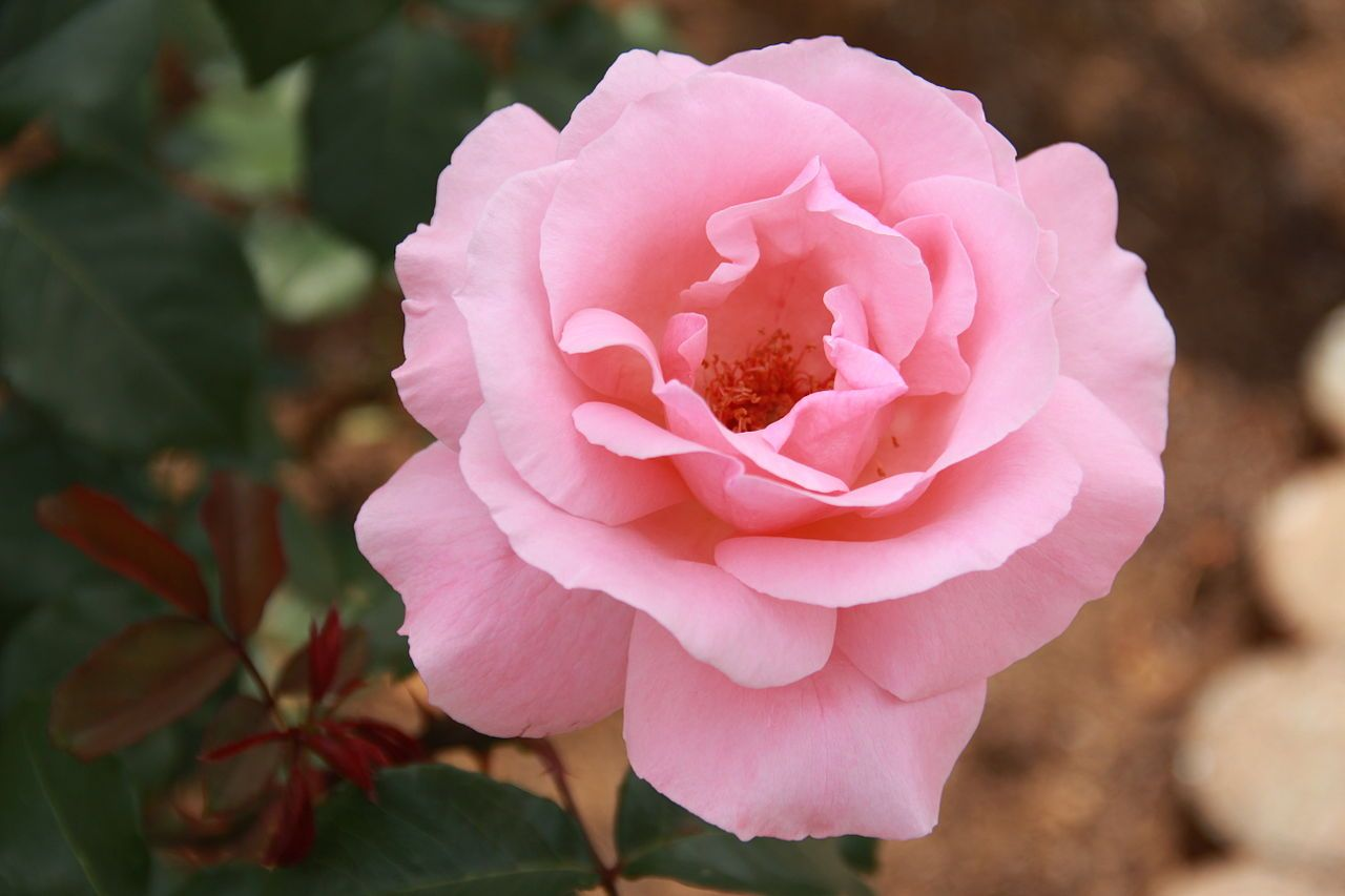 Rose Hall Of Fame Queen Elizabeth Rose Hybrid Tea Roses Rose Varieties