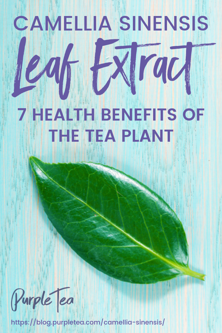 Camellia Sinensis Leaf Extract 7 Health Benefits Of The Tea Plant Tea Plant Green Tea Detox Camellia Plant