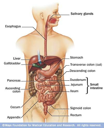 intestinal tract   The Digestive System and Urinary Tracts Stomaatje ...