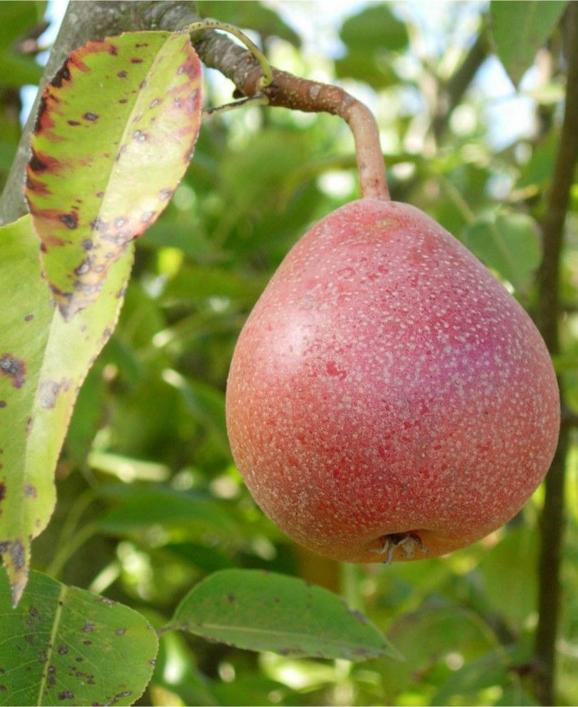 Ayer S E Pear Semi Dwarf In 2020 Fruit Trees Fruit Pear