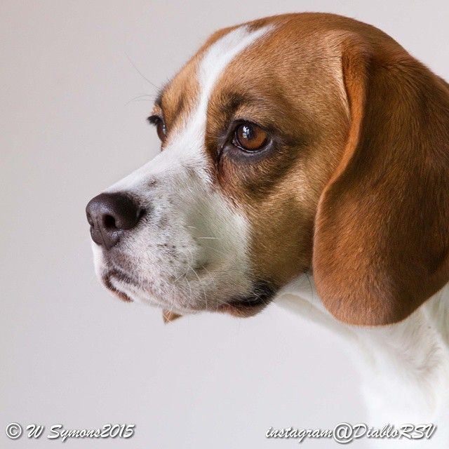 Gorgeous Beagle Beagle Dogs Puppies Animal Pictures