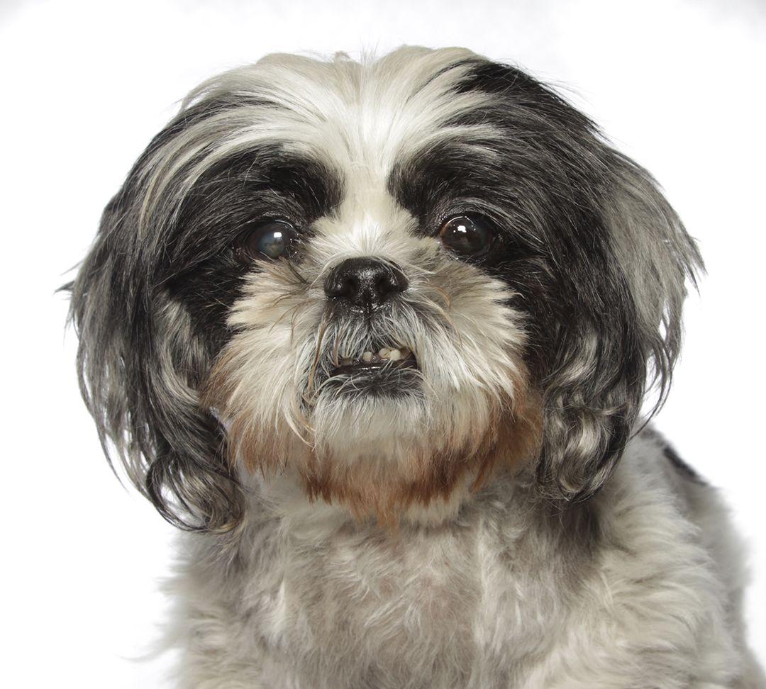Shih Tzu Dog For Adoption In Oakland Park Fl Adn 647247 On