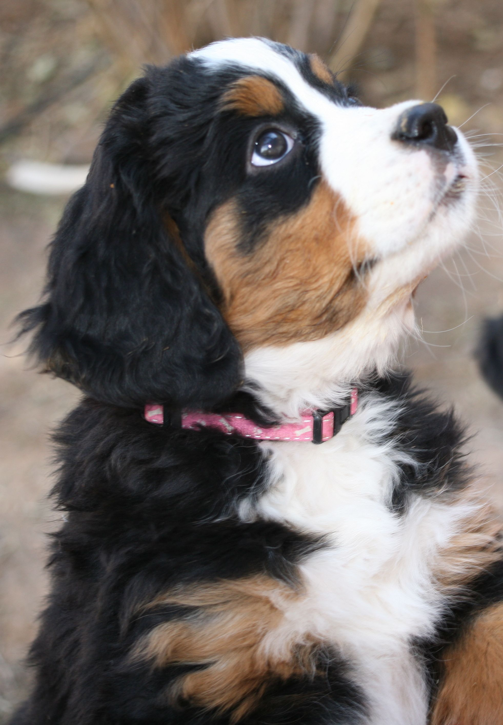 This cute little Bernese Mountain Dog puppy belongs to my friend Megan. How cute is she?! More puppy pictures can be found on her board at @If It Falls On The Floor.