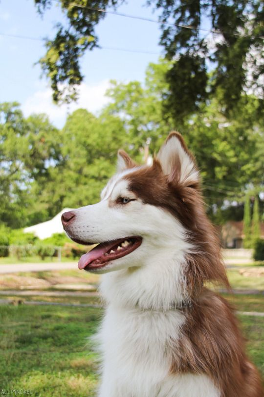Pin By Leisha Miller On Puppies Husky Dogs Cute Animals