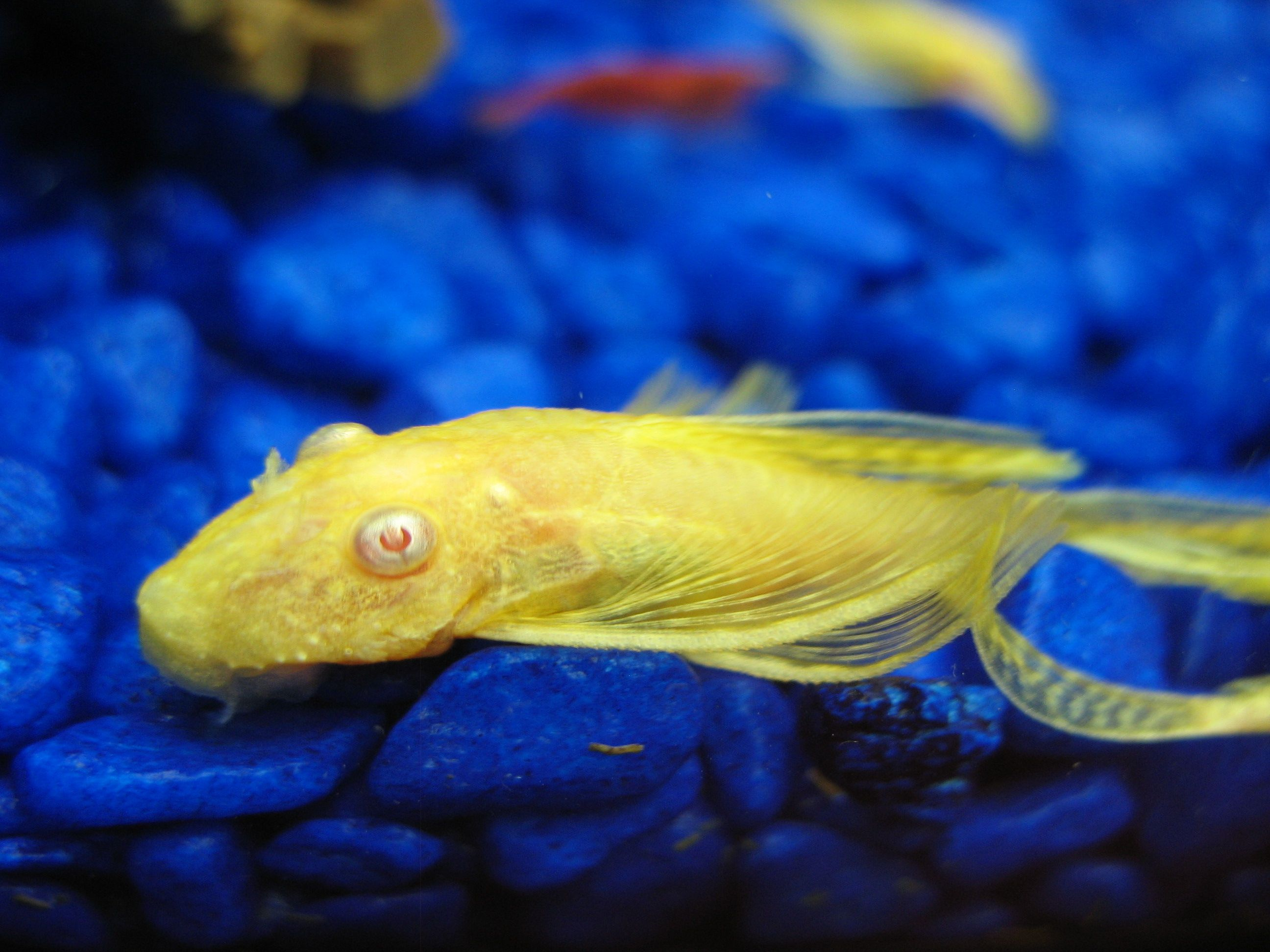 The Albino Bristlenose Pleco Is As Unique As They Come And Can Grow To Approx 5 In Adulthood Aquarium Fish Tropical Fish Saltwater Aquarium Fish