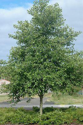 Alnus Rubra 50 Seeds Red Alder Tree Seeds