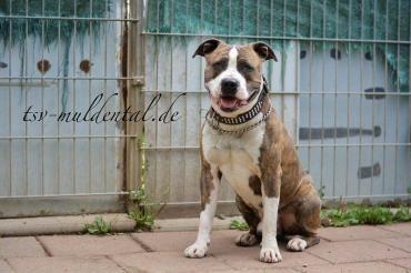 Bambam Staff 7 Jahre Evtl Zu Einer Hundin Tiere Suchen Ein Zuhause Hunde Tierheim