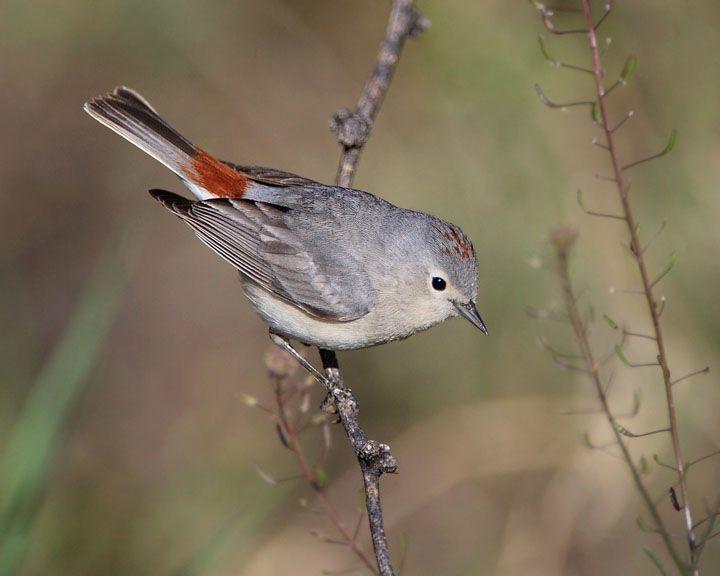 Lucy S Warbler Common Birds Bird Life List Bird Photo