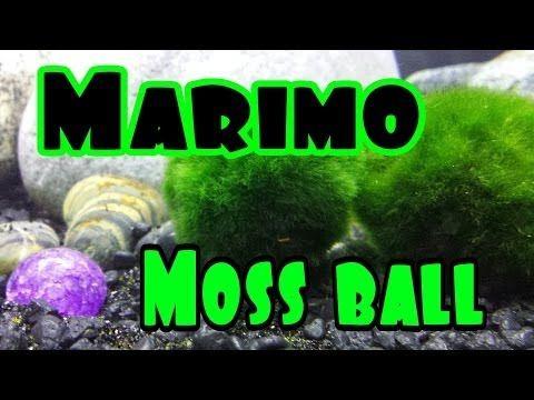 Marimo Moss, Moss Balls YouTube Marimo, Marimo moss