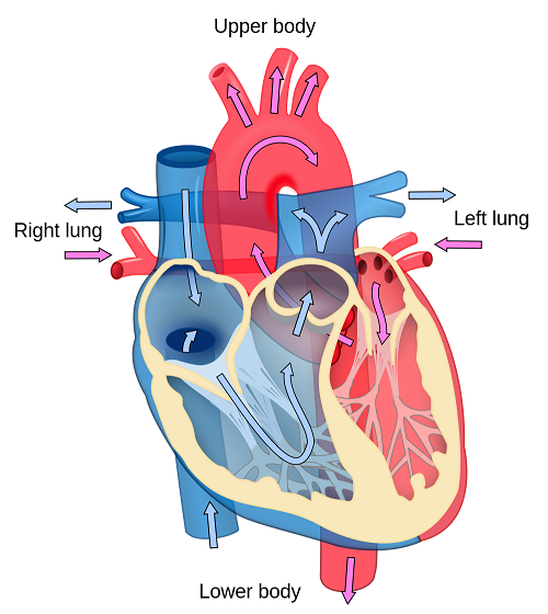 Simple Human Heart Diagram For Kids Popular Website Photo Gallery