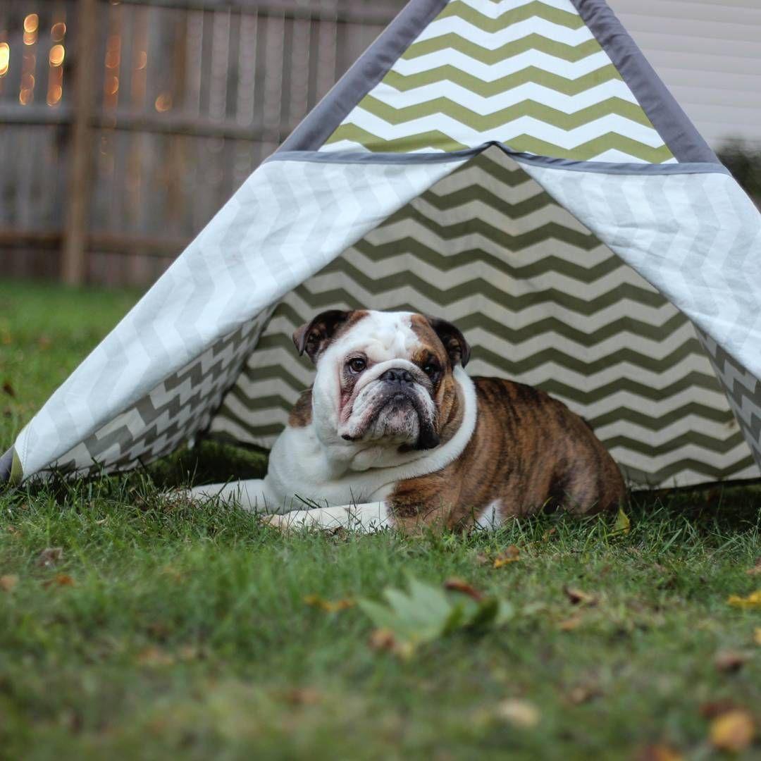 English bulldog puppy camping puppy teepee buldog