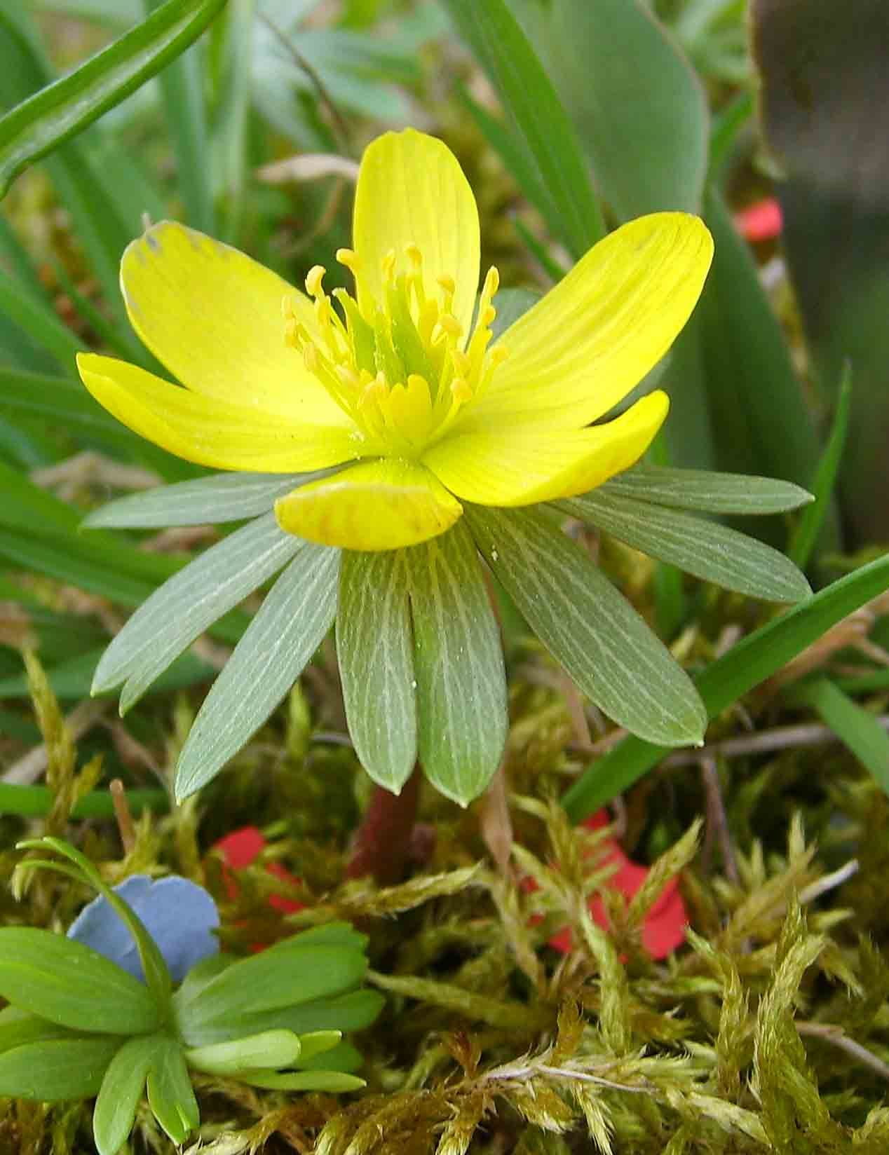 Winter Aconite Eranthis Hyemalis Is A Tuberous Bulb Native To