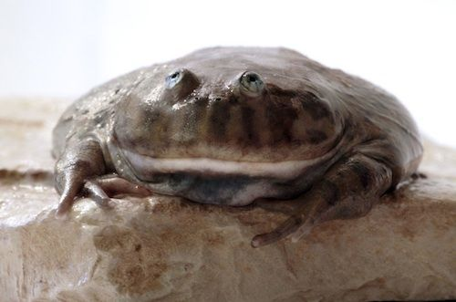 Budgetts Frog For Sale Frogs For Sale Frog Frog And Toad