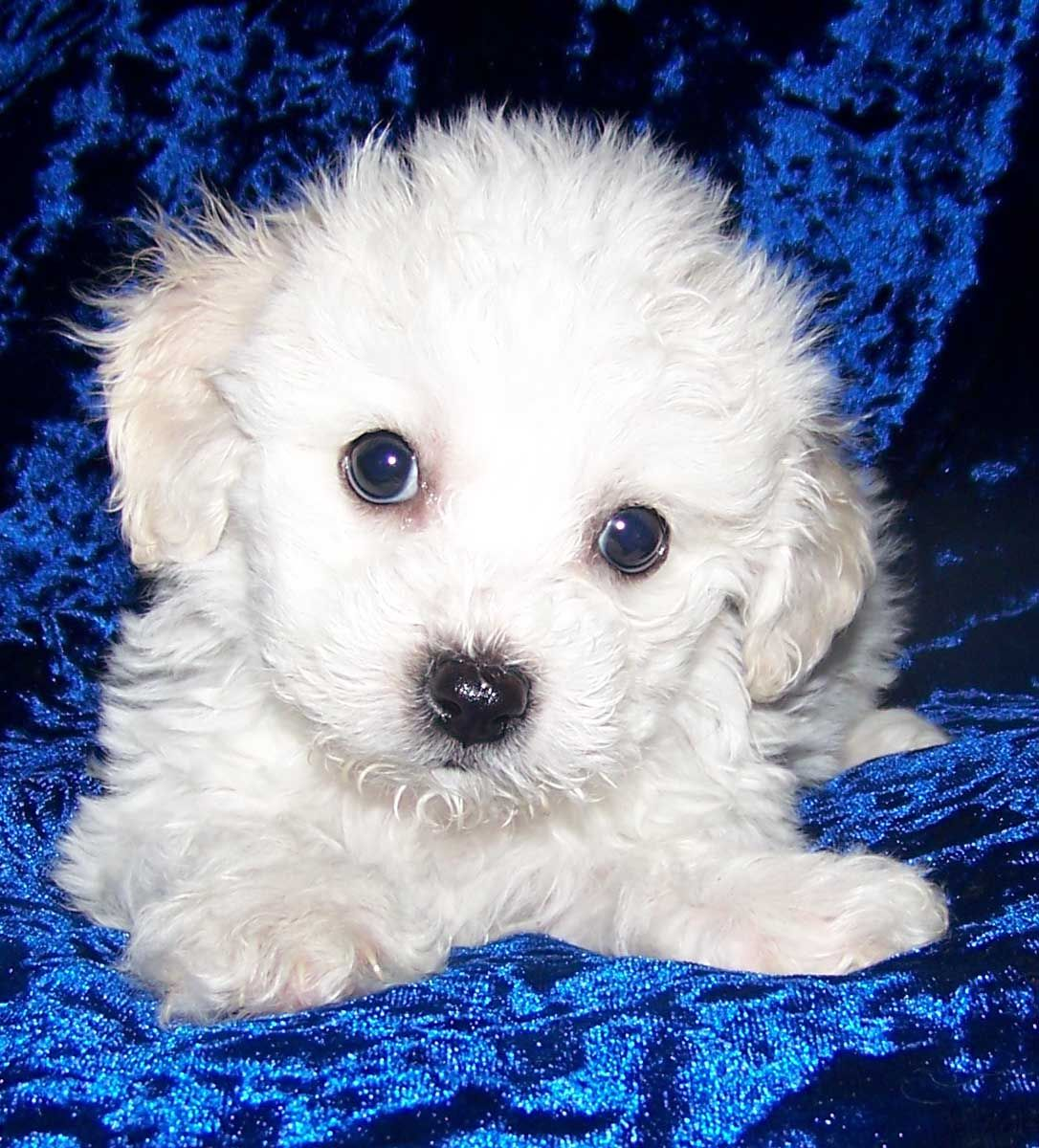 Bichon S Due Soon Bichon Frise Puppy Puppies Boston Terrier Puppy