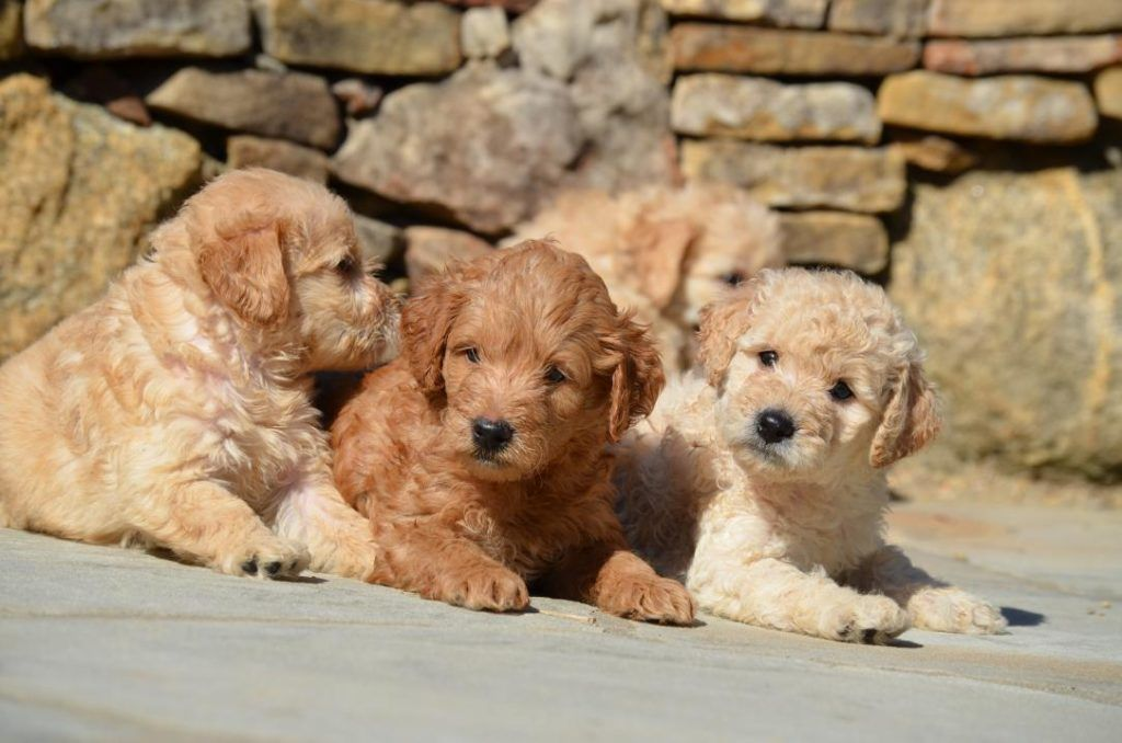 Pin By Crockett Doodles On Gorgeous Goldendoodles