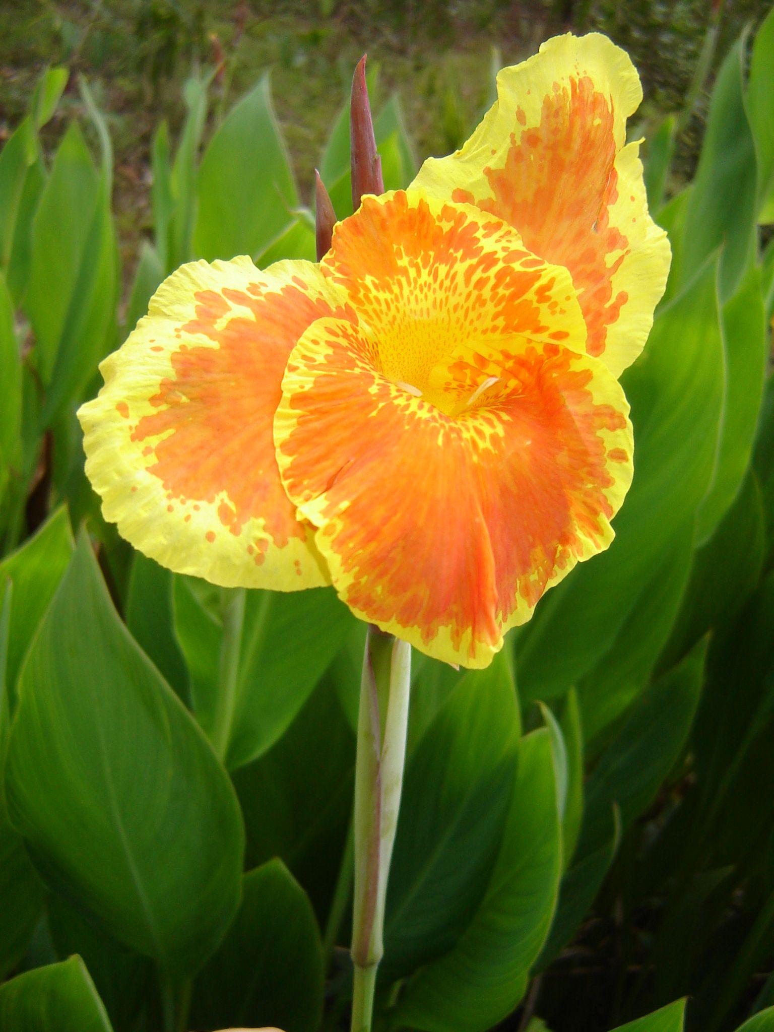 Canna lily yellow king humbert green thumb pinterest canna canna lily yellow king humbert izmirmasajfo