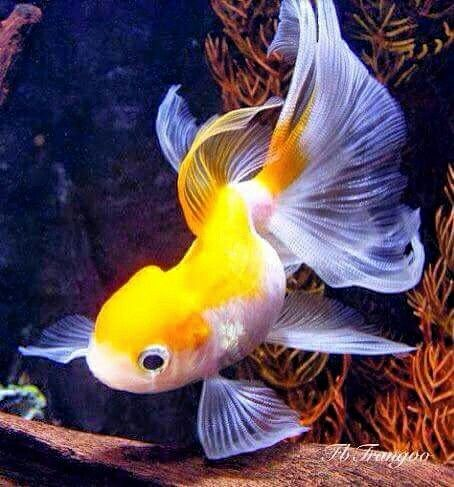 Pin By Becky On Fish Goldfish Oranda Goldfish Goldfish Aquarium