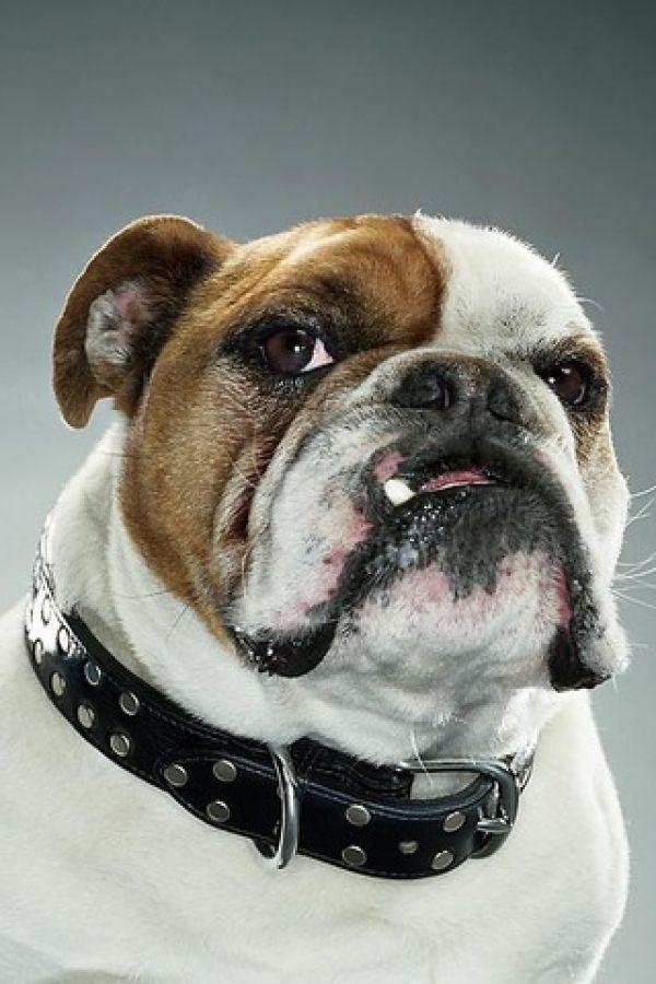 Bulldog One Tooth Like Maggie Haha Bulldog Dog Portraits