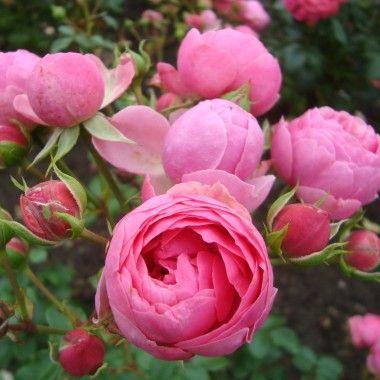 rosier pomponella 39 korpompan 39 grandes fleurs mon. Black Bedroom Furniture Sets. Home Design Ideas