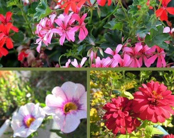 10 pflegeleichte Balkonpflanzen für die Sonne | Balkonrosen Blog