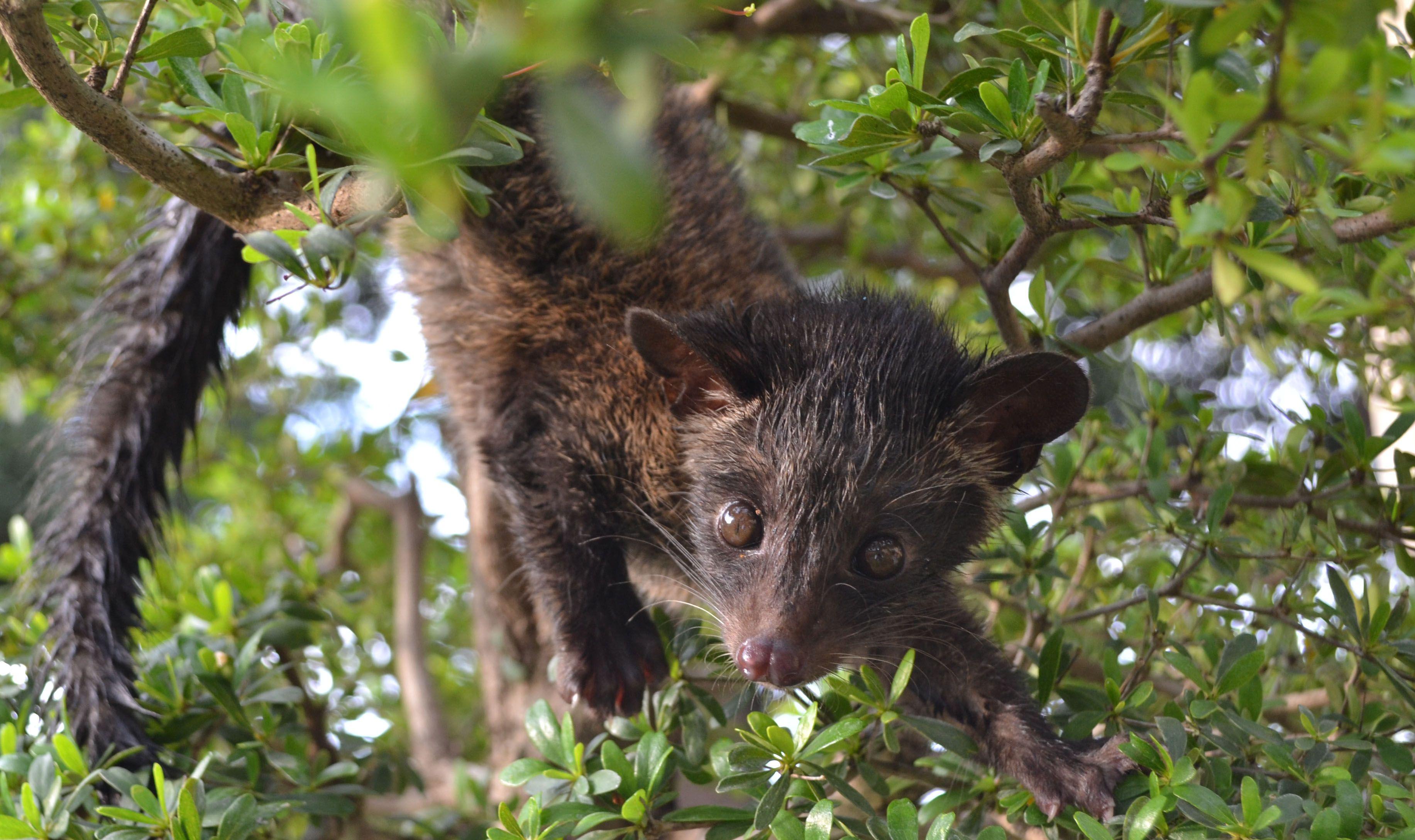 Civet Cat in Kape Melo Farms Animals, Civet coffee