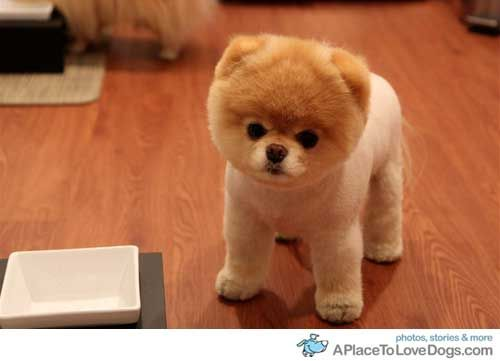 teddy bear pomeranian Google Search Boo the cutest dog