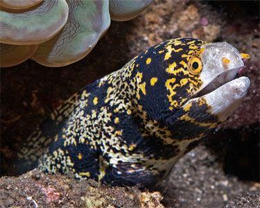 Snowflake Moray Eel Underwater Animals Ocean Creatures Marine Animals