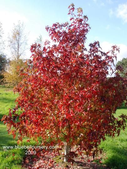Liquidambar Styraciflua Stella Sweet Gum Tree With Deeply Cut Star Shaped Green Leaves Which Turn Dramatic Shades Of Purple And Rich Red For Several