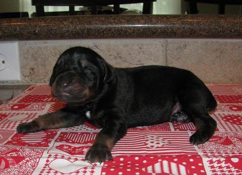 Litter of 9 Doberman Pinscher puppies for sale in MANVEL, TX