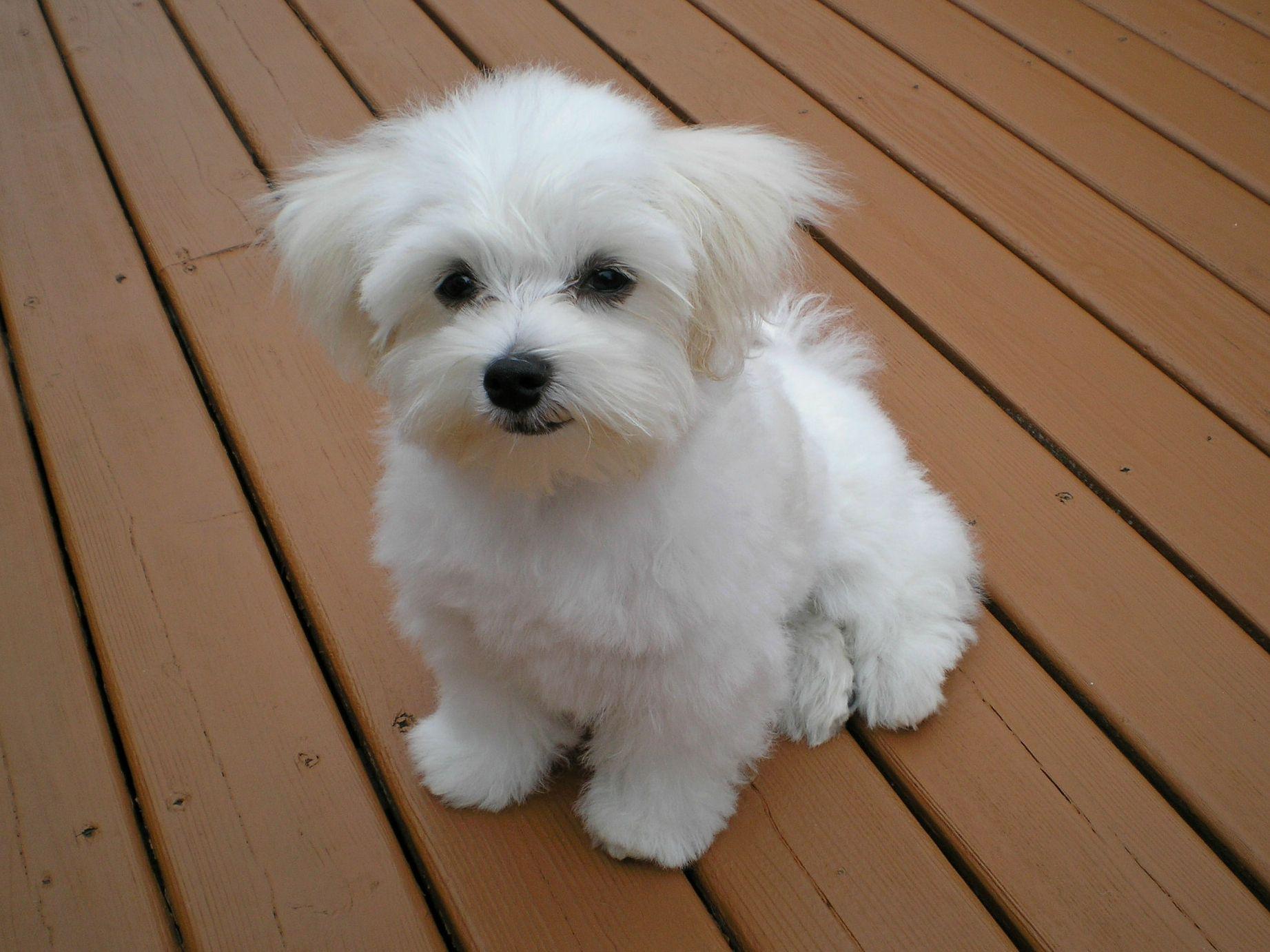 White Cream White Cream Sadie Maltese Dogs Dog Breeds That