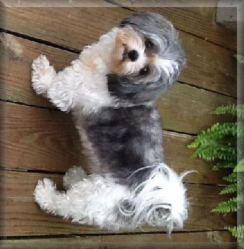 Grown Shih Poo Dogs Shih Poo Cute Little Dogs Shih Poo Puppies