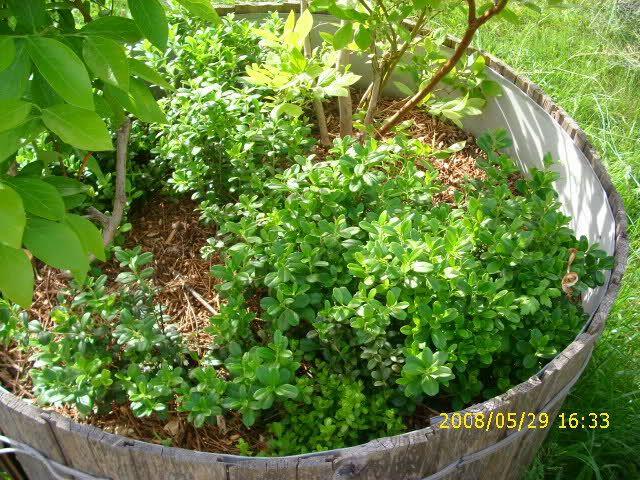 Heidelbeerstraucher Mit Preiselbeeren Im Topf Gartenboden Garten Heidelbeeren
