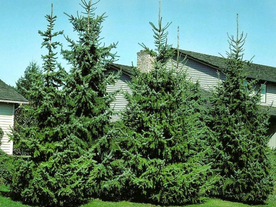 'Black Hills' spruce A slow-growing conifer with regal ...