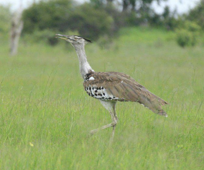 Kori bustard, Zimbabwe