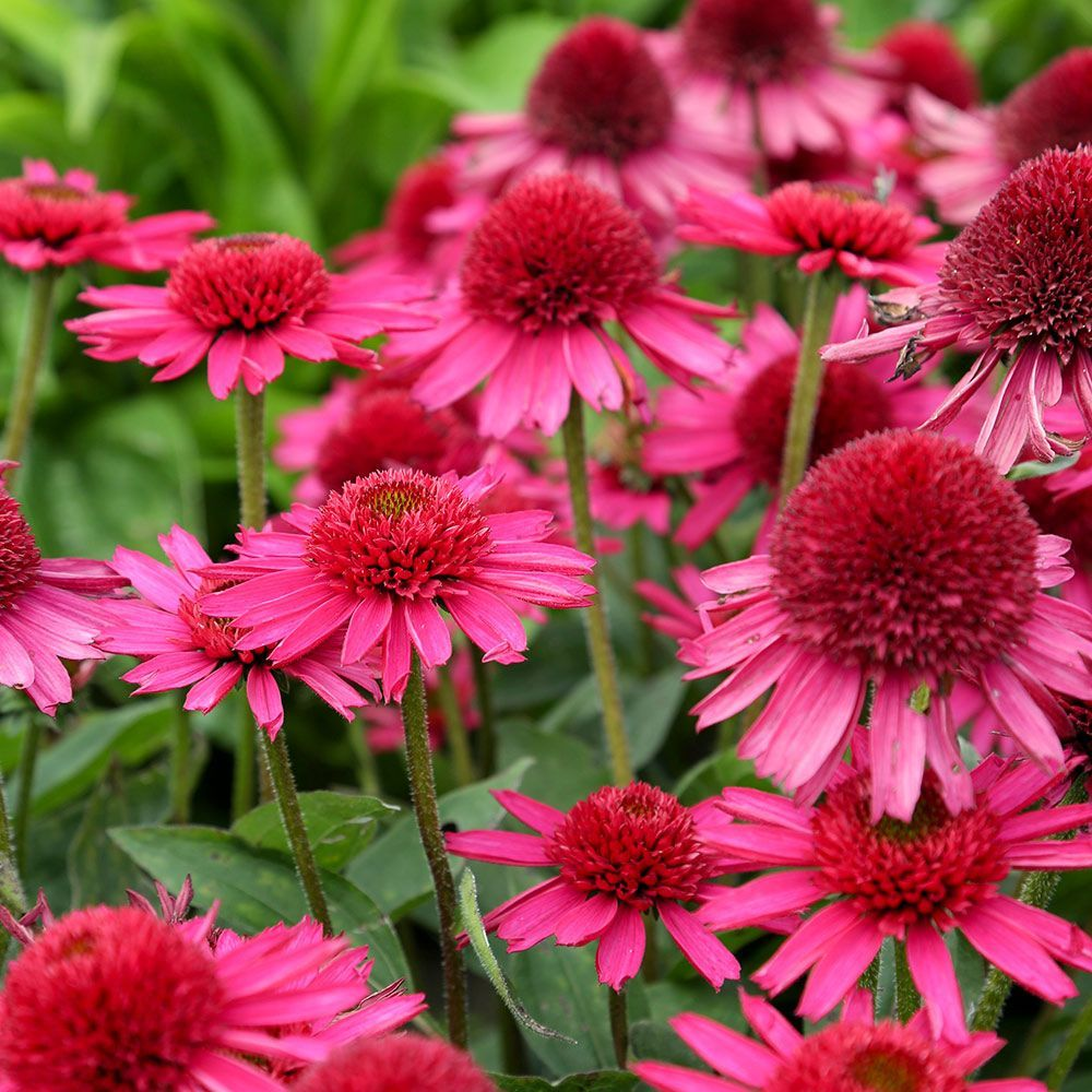 Echinacea Delicious Candy Plants Gardens And Perennials