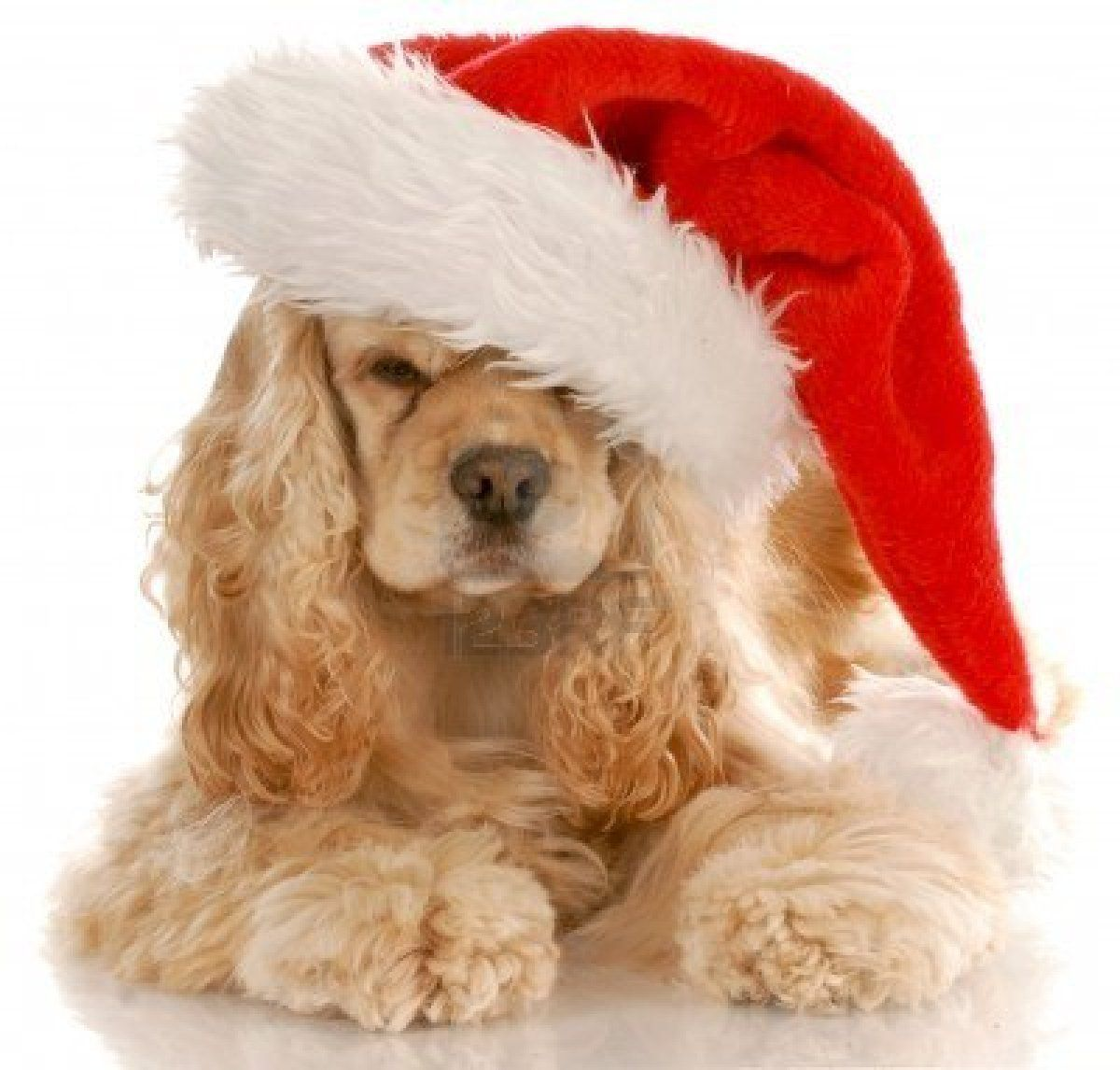 american cocker spaniel laying down wearing santa hat with reflection on white…