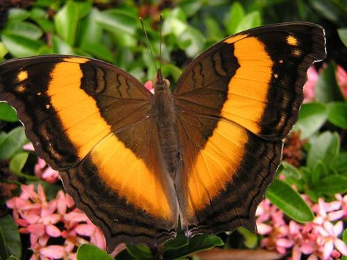 Class:	Insecta Order:	Lepidoptera Family:	Nymphalidae Genus:	Yoma Species:	sabina Common Name:	Lurcher Butterfly