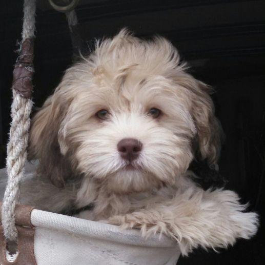 Havapookie Havanese Poodle Yorkie Havapoo Puppies Poodle Mix