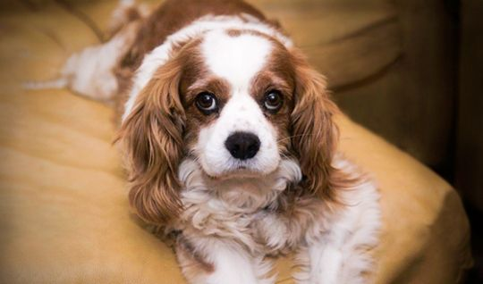 Max In Union City Ca Cavalier Puppy Cavalier Rescue Cavalier King Charles Spaniel