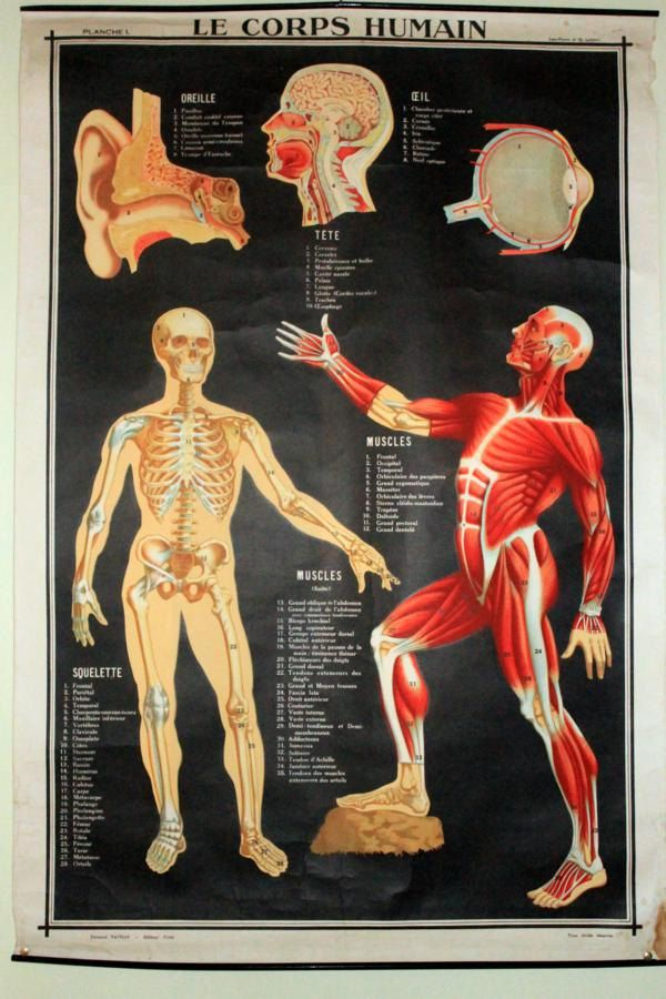 Vintage French School Anatomy Poster Human Body 1950 S 1960 S French School Medical Illustration Education Poster