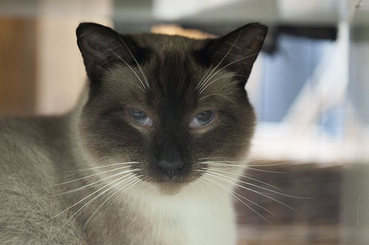 Burma (DOB Approx 2011) is a handsome hunk of a cat.  He's a Siamese mix, we think he might be part Balinese.  He has bright blue eyes, an intelligent face and sweet white paws.   Adopters must come to the shelter to meet Burma in person. To learn more about Nine Lives Foundation and our cats, visit our website at www.ninelivesfoundation.org.