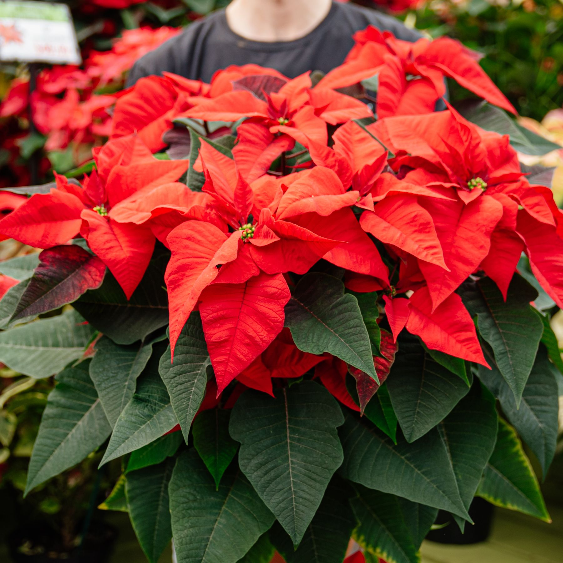 Large Red Poinsettia In 2020 Poinsettia Flowers Plants