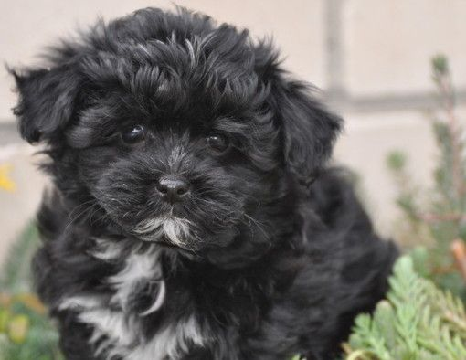 Havanese And Maltese Dog Breed Hybrids Of The Zobelzwergen Pictures Havanese Maltese Mix Puppies From Zobelzwergen Havaneser Malteser Malteser Mix Welpen