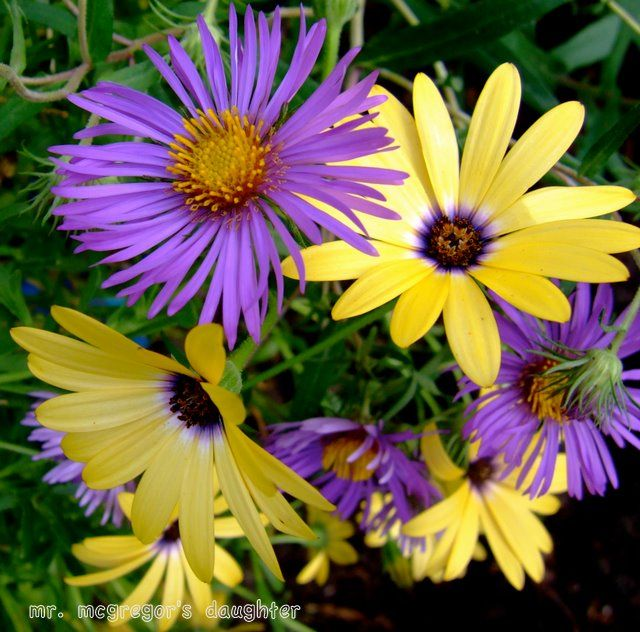 Purple And Yellow Pretty Color Scheme For A Cottage Flower Bed