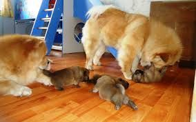 Chow Chow Dog And Puppy For Sale In Hyderabad With Low Price We