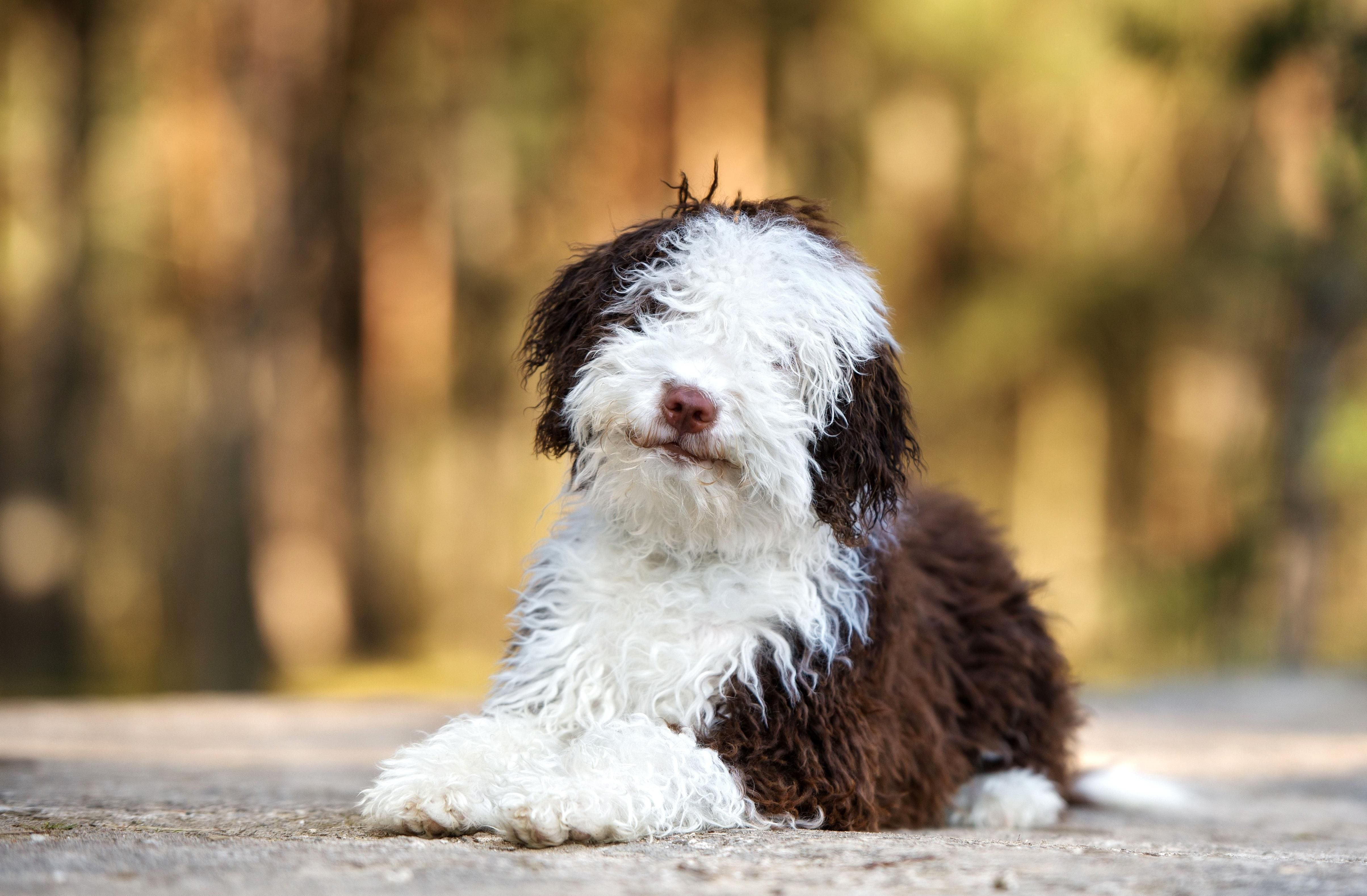 There Are Quite A Few Breeds And Cross Breeds That Dont Shed Or Dont Shed Much Well Introduce You To Some Large Breed Dogs In 2020 Large Dog Breeds Dog Breeds Breeds